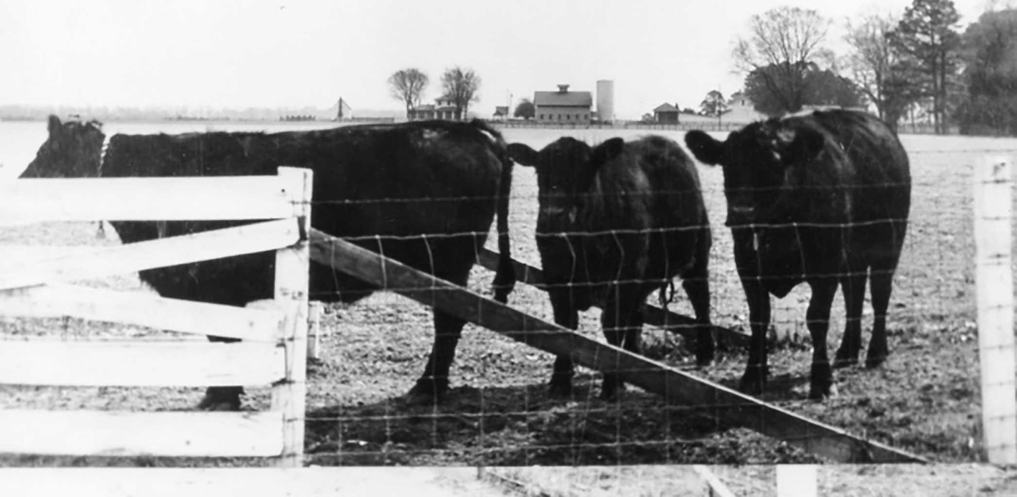 black-angus-on-butts-farm-img158