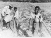 harvesting-potatoes-cedar-brook-farm-img101