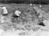 digging-potatoes-cedar-brook-farm-img102